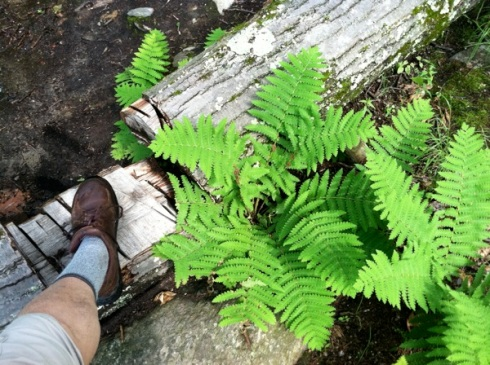 Foot log fern 6-14-13