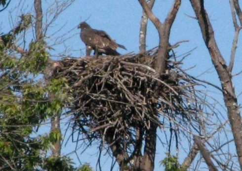 Juvenile eagle across marsh in its nest, likely awaiting a parent with some food.