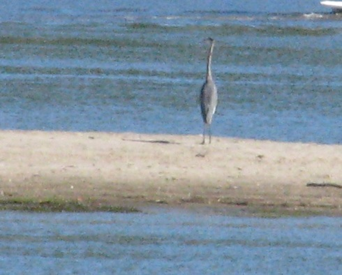Great Blue Heron on sandbar of the Oxbow, which branches off the Connecticut River.