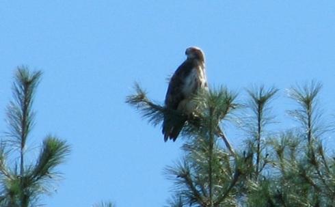 Redtail Hawk crop Acadia 8-24-13