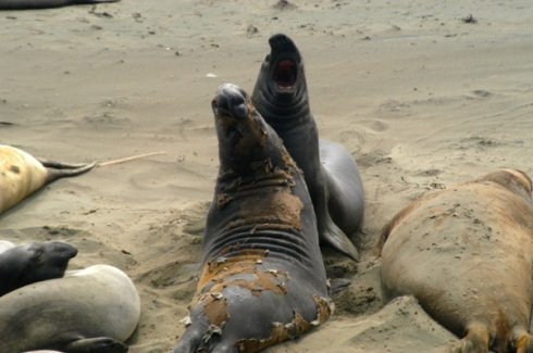 Elephant seals duke it out playfully on California Highway 1.