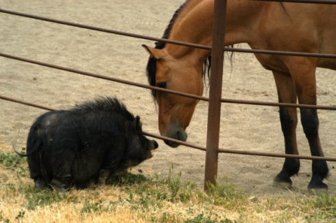 Though from opposite ends of beauty scale, horse and pig both have their place at Return to Freedom wild horse sanctuary.